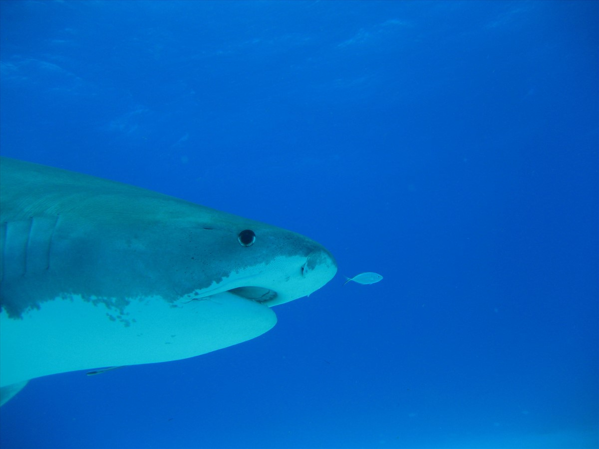 Berühmt Große Weiße Hai Malvorlagen Bilder - Entry Level Resume ...