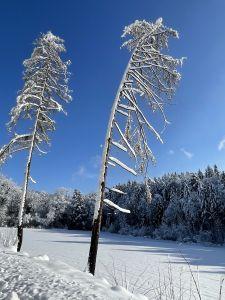 Zwei einsame Föhren im Hemishofer Wald.