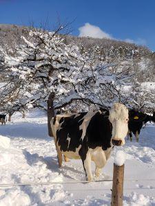 """Ein aussergewöhnlicher Winter auch für unsere Kuh """"Helvetia"""". Noch nie hat sie soo viel Schnee gesehen. Dennoch scheint sie zu zögern: Luftsprünge in der weissen Pracht machen - oder doch lieber die bewährte, gefüllte Futterkrippe im Stall vorziehen."""