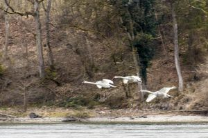 """3 fliegende Schwäne. Aufgenommen: April 2021 an einem unserer Holzer - Ferientage im Rheinhölzli ob Büsingen .  Für mich zeigt dieses Bild in Perfektion  """"Frei und ungebunden"""". Die 3 können fliegen wohin sie wollen.  Sie sind niemandem Rechenschaft schuldig. Sie bewegen sich in ihrem Element völlig frei und Ungebunden."""